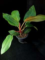 XL Philodendron Prince of Orange