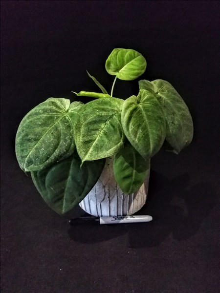 Syngonium macrophyllum Frosted Heart