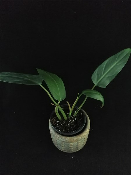 Philodendron mexicanum