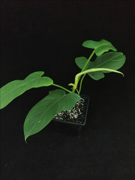 Philodendron Golden Violin